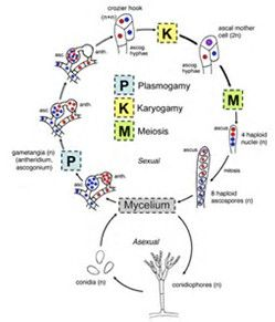 Image Result For Fungi Phylum Chart Life Cycles Plant Pathology Microbiology