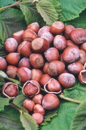 Corylus avellana Filbert European Hazelnut, Seeds Edible, Showy Fall Color