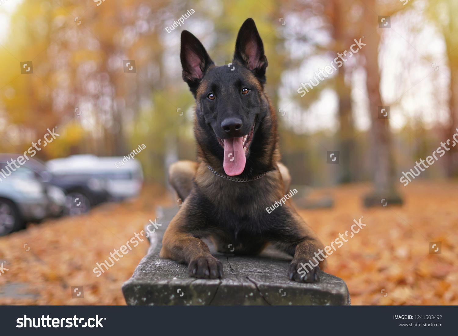 Young Happy Belgian Shepherd Dog Malinois With A Chain Collar Lying Outdoors On A Wooden Bench In A Belgian Shepherd Belgian Shepherd Dog Malinois Shepherd Dog