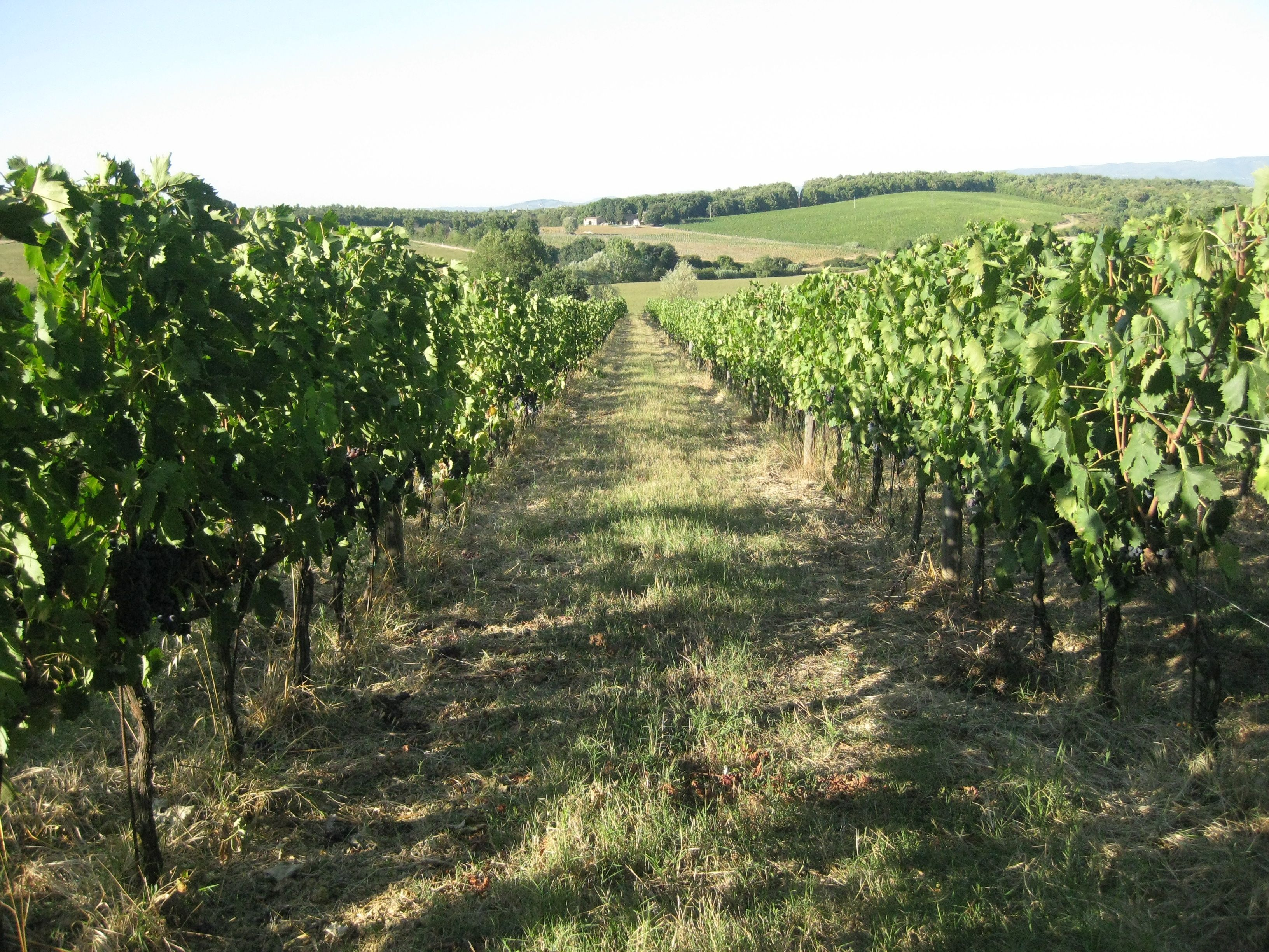 Borgo Santinovo Vines August 2011 by Sharon