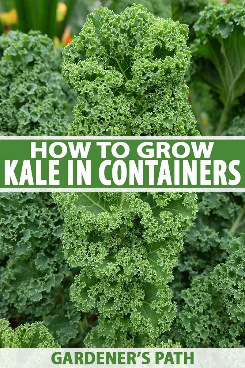 How To Grow Kale In Containers Growing Kale Container Garden