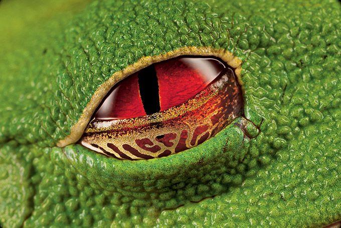 アカメアマガエルの目 アカメアマガエル 自然動物 アマガエル