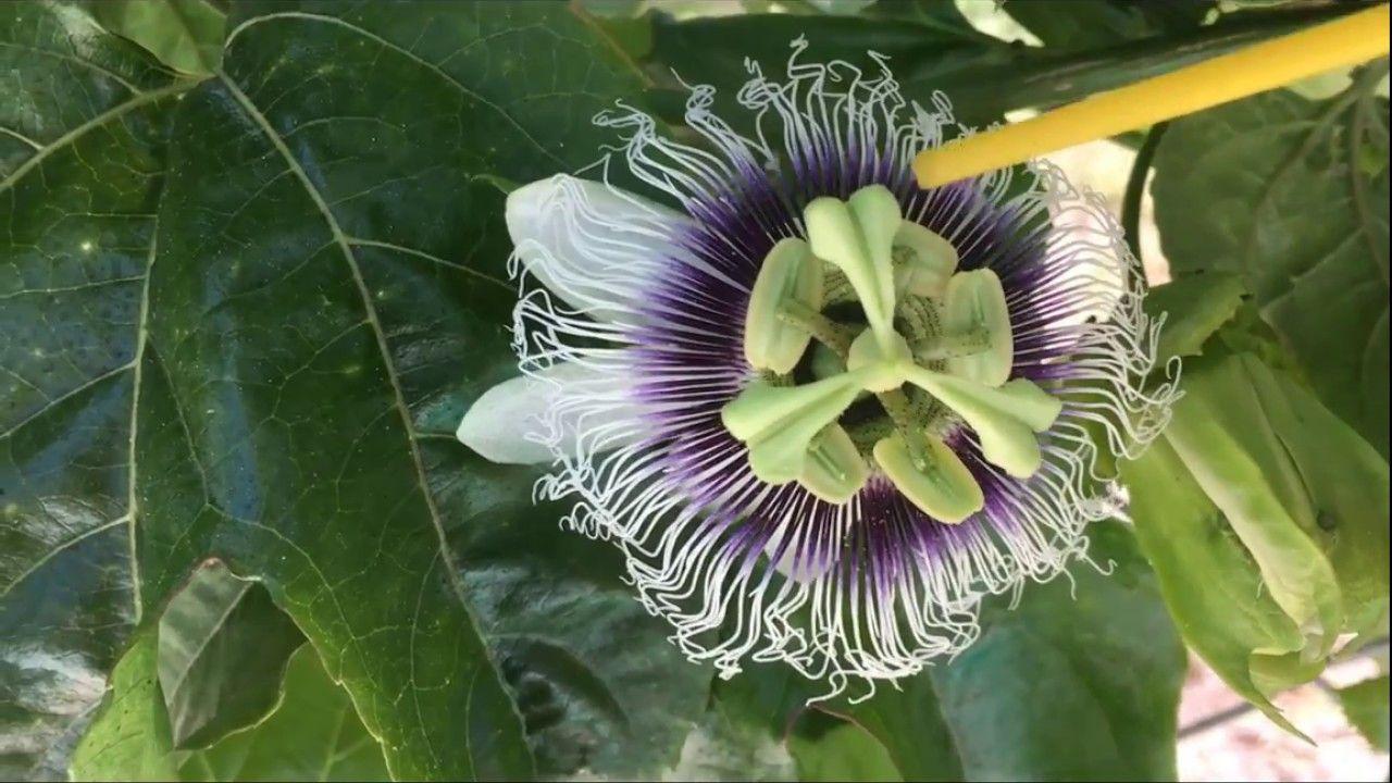 How to pollinate purple passion fruit plant passiflora