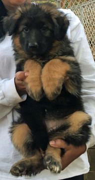 Litter Of 4 German Shepherd Dog Puppies For Sale In Hartwell Ga