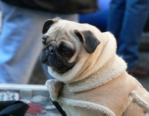 Pugs are just glorified cats, but still adorable.