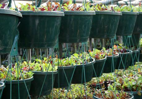 Growing Power: Microgreens in hanging baskets