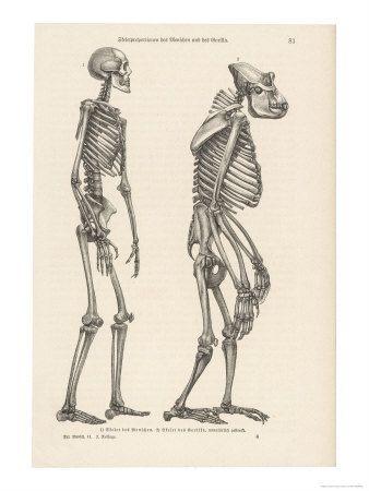 ee90f992f623720369ed415902b4691e gorilla vs human anatomy animal anatomy anatomy, animal drawings