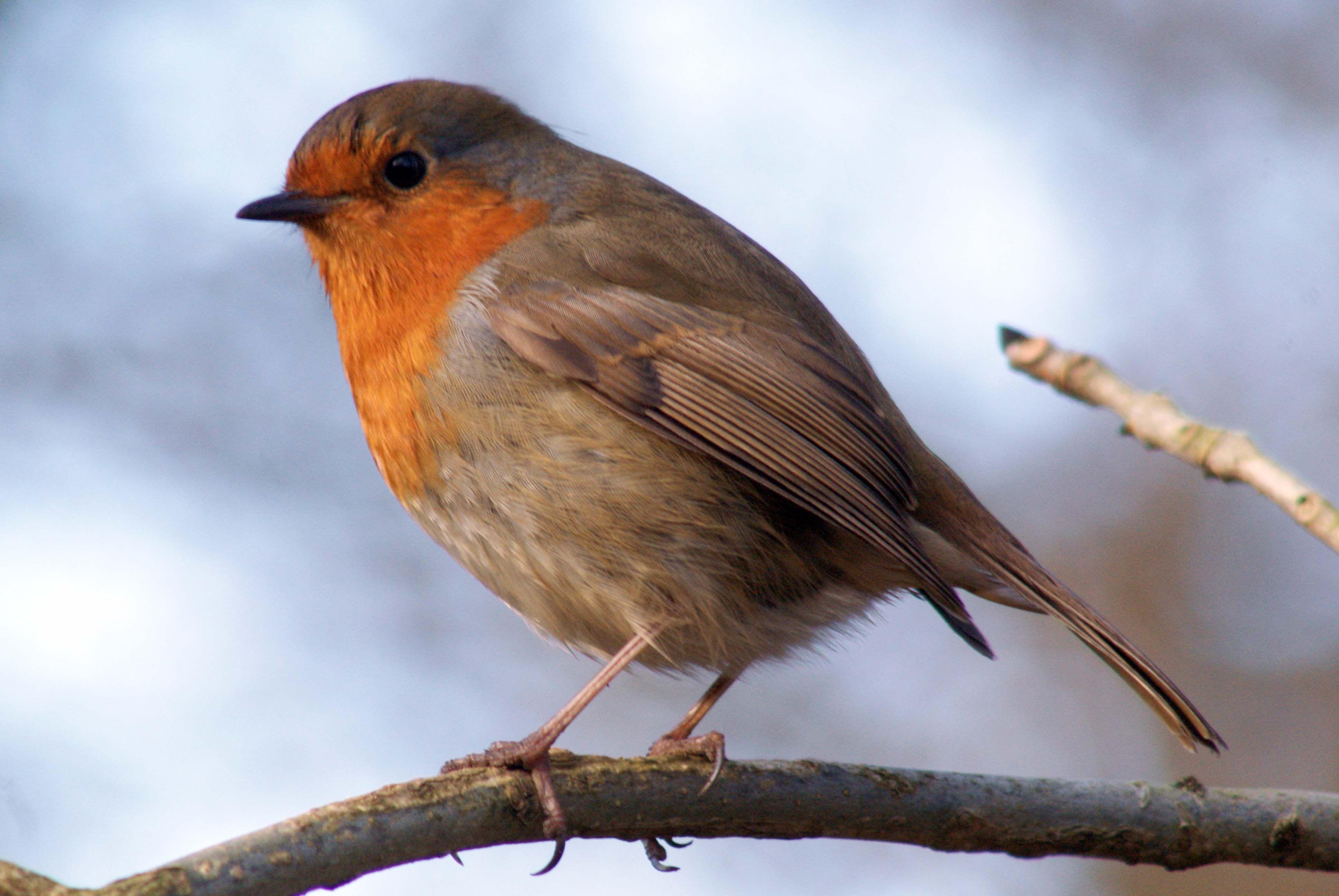 how to feed garden birds over winter robins bird and european robin