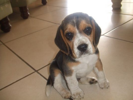 Cute Beagle Puppies Puppy Pictures Beagle Pinterest Puppy