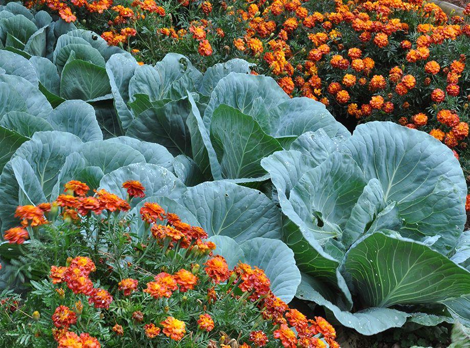 COMPANION HERBS FOR WINTER VEGGIES | Edible garden ... Companion Planting Kale