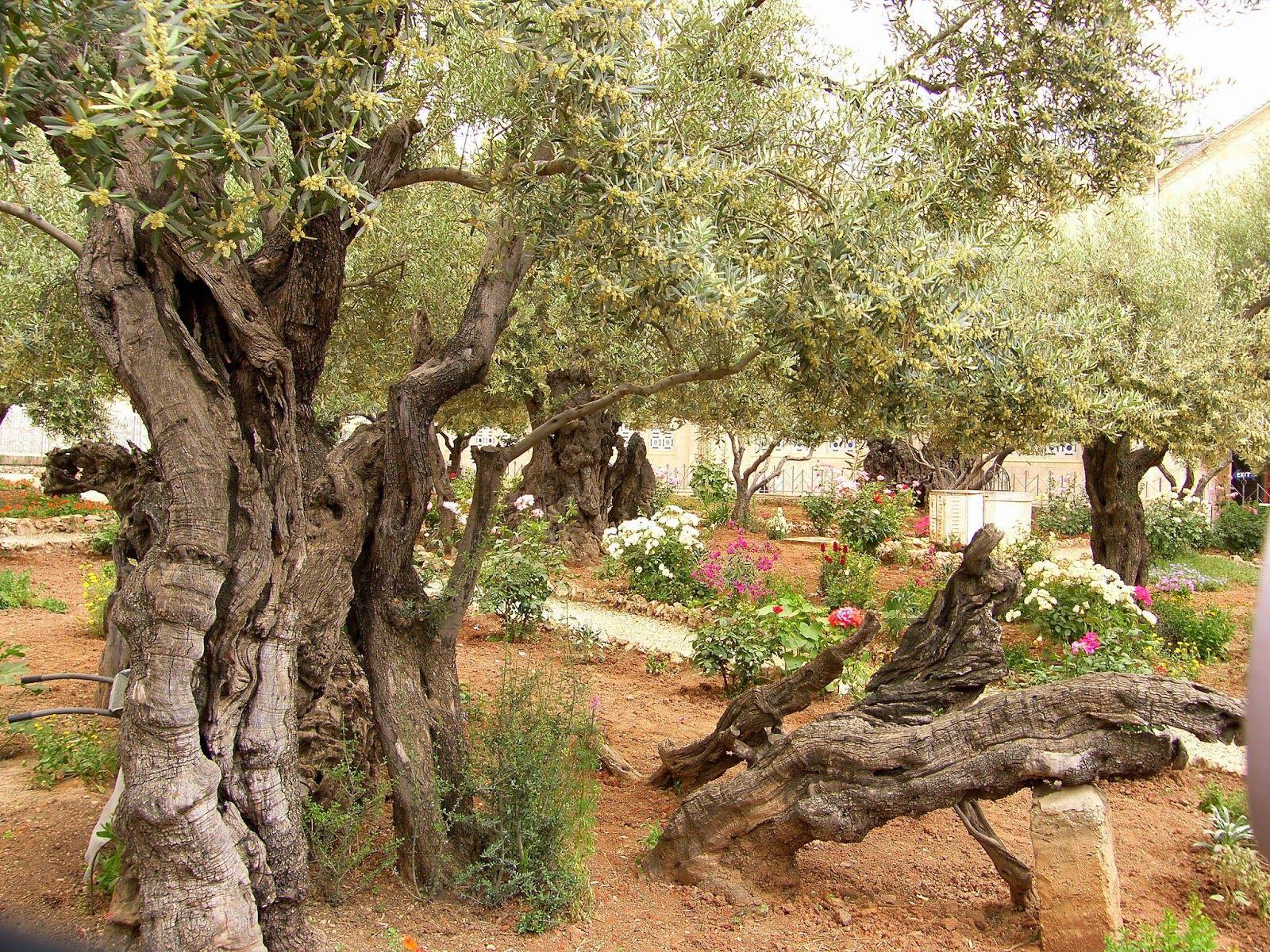 Birding For Pleasure: SUNDAY THOUGHT - Garden of Gethsemane, Israel ...