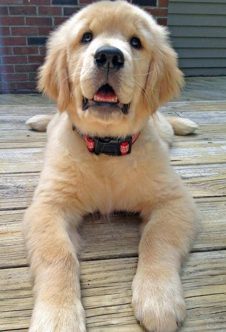 My Favorite Stage Of Puppy Golden Retriever Puppies Dogs