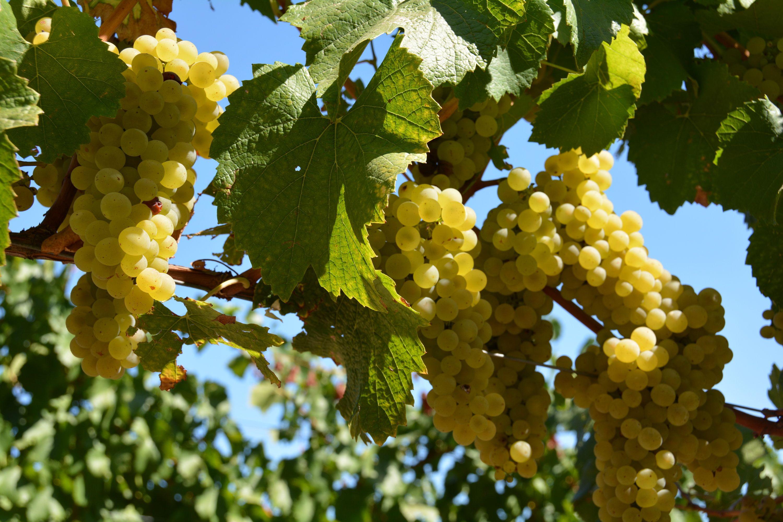 Grapes ready for harvest on Westside Rd, Healdsbburg. / Mary Anne Veldkamp / Real Estate / www.maryanneveldkamp.com / 707-535-8803