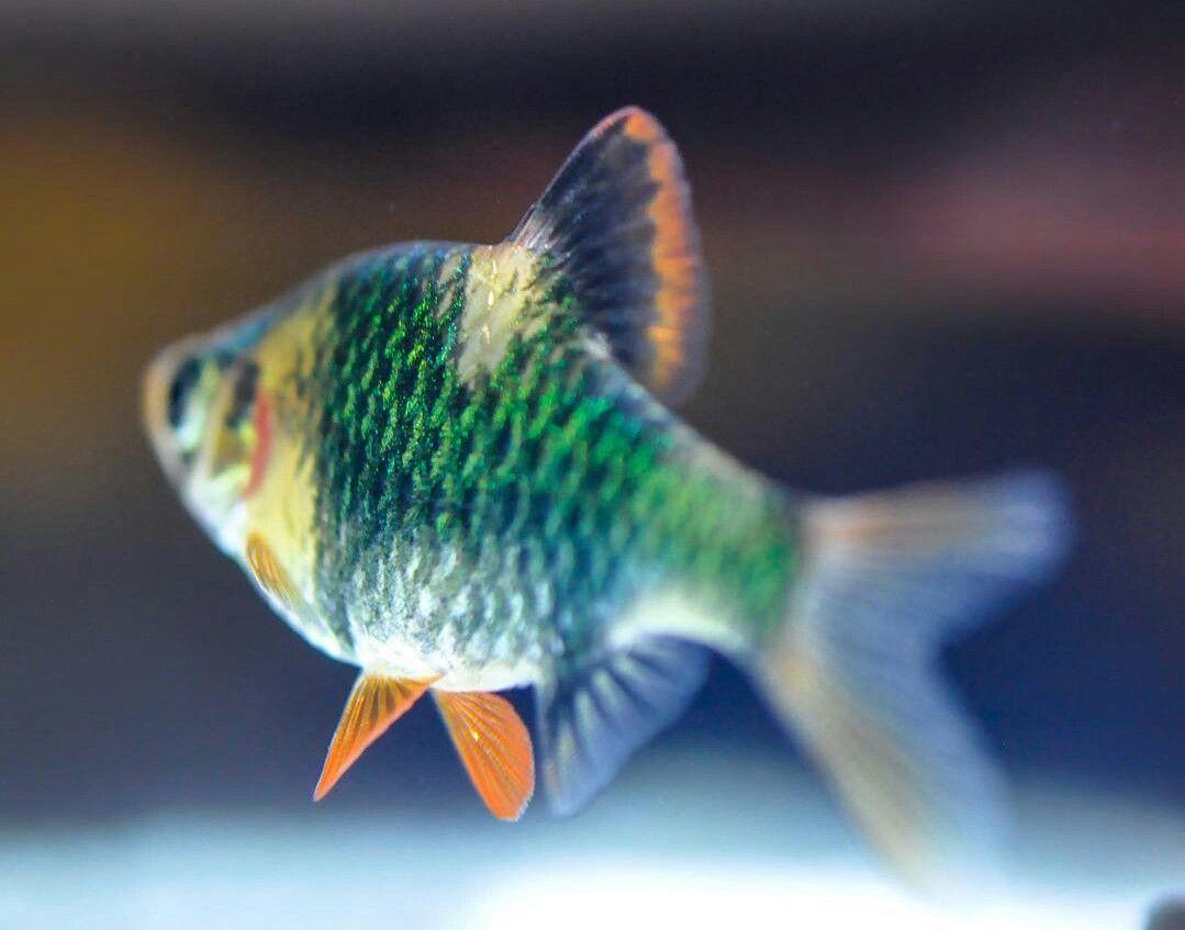 Green Tiger Barb Fish Ponds Fish Tank Aquarium Fish