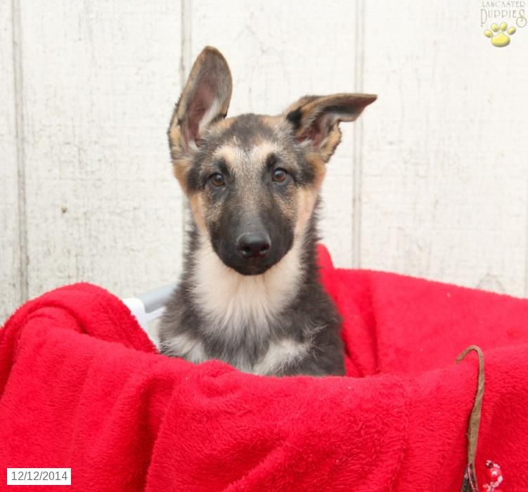 Dolly german shepherd puppy for sale in new holland pa