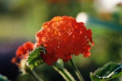 How To Make A Lantana Topiary Lantana Plant Verbena Plant Flowers Perennials