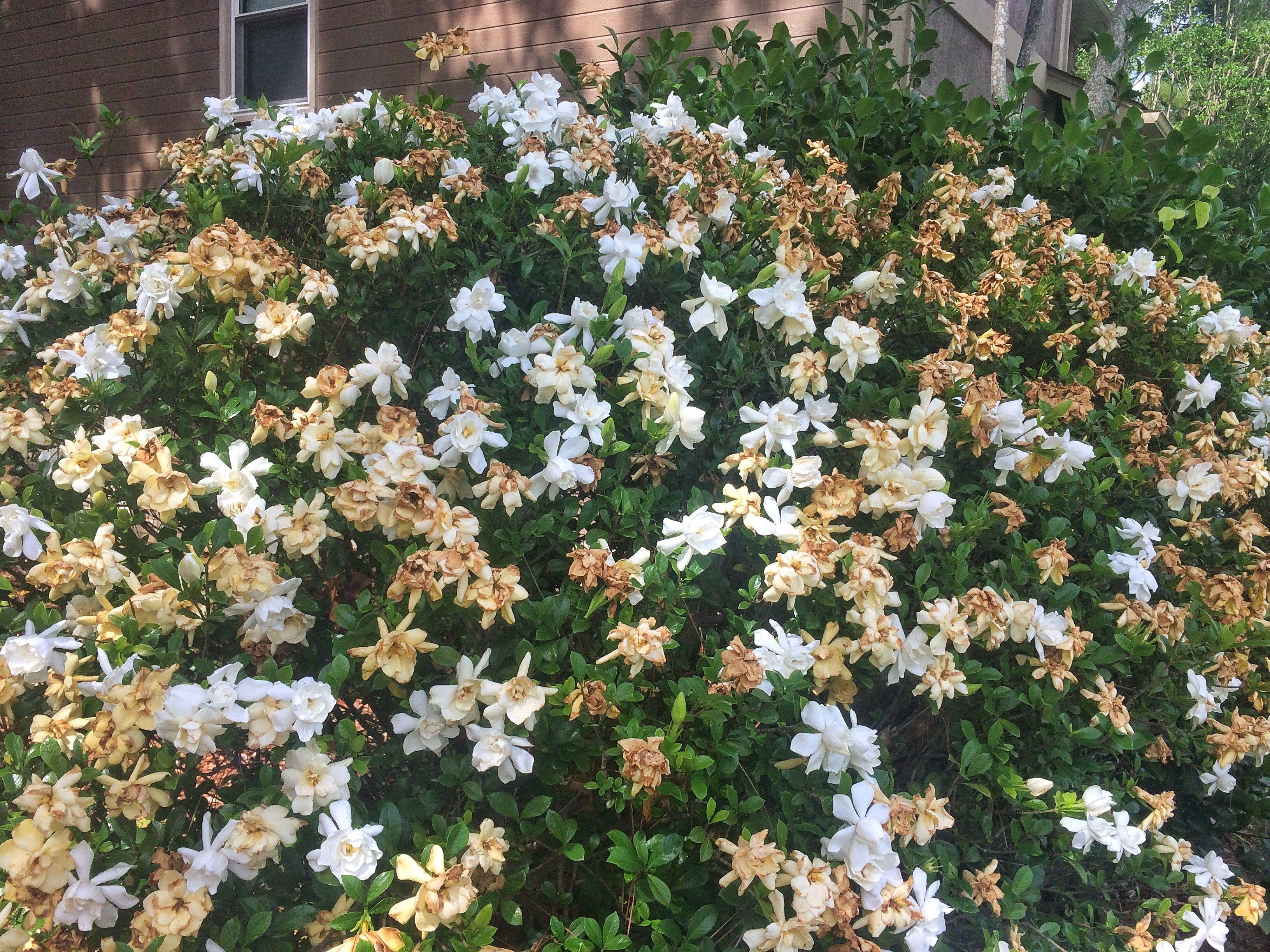 The Worst Place For Your Gardenia Garden Shrubs Outside Plants