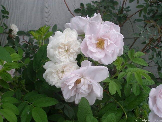 Snow Pavement Rose Photo Rose Photos Rose Photo