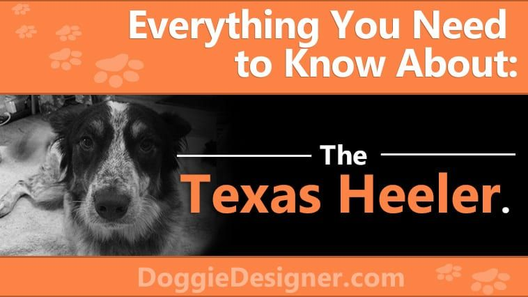 Texas Heeler Dog Breed Info Pictures Personality Facts Doggie Designer In 2020 Heeler Dog Breed Info Poodle Mix Dogs