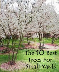 The 10 best trees for small yards grass free lawn for Ideal trees for small gardens