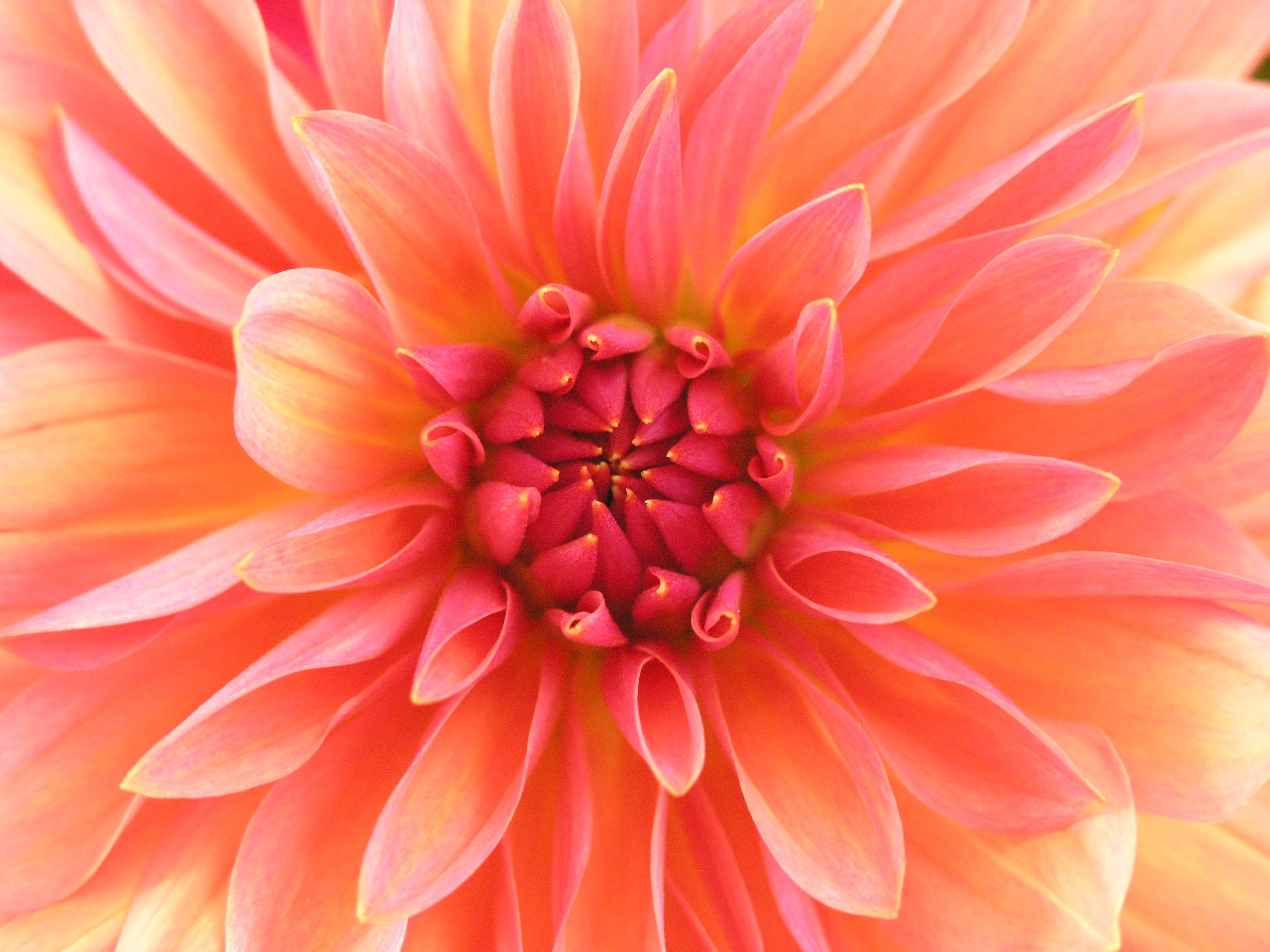 Peach and yellow Dahlia flower, pink, coral petals Color
