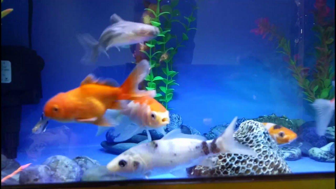 Aquariums Aquarium Tank Kecil Airnya Bersih 1 Bulan Kuras 1x Ikan Hias Mas Koki Komet Koi Patin Komet Slayer Fish Pet Aquarium Koi