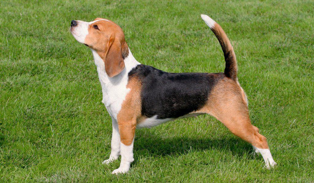 Beagle Breed Information, Photos, History and Care Advice