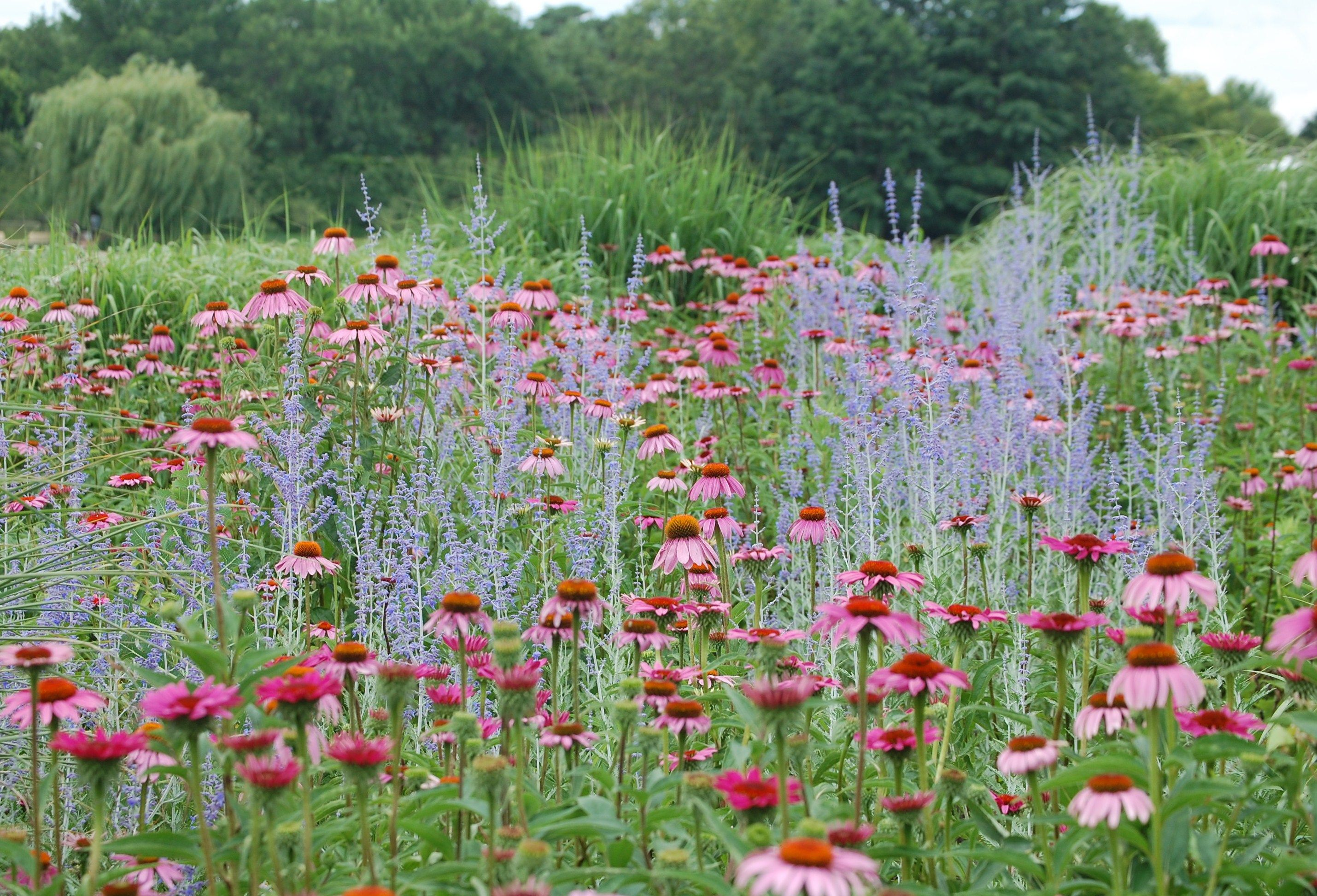 Bluebeard and red poppies plus other plant combinations for Planting schemes for small gardens