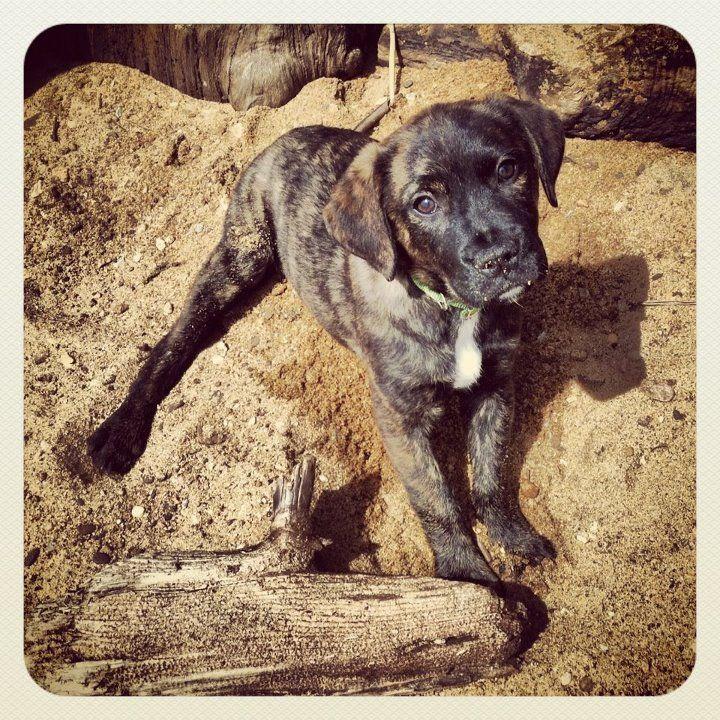 My Puppy Harper! She's a brindle boxador cutie. ) (With