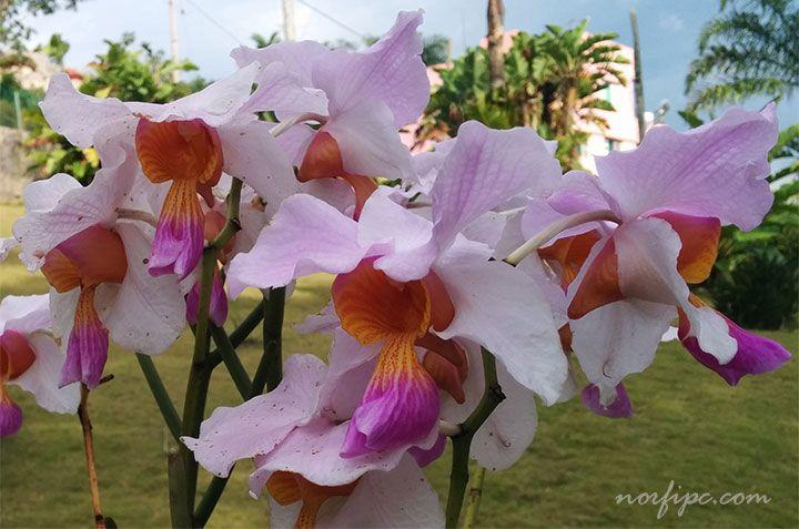 Flores de variedades hibridas de orquídeas exóticas, que se cultivan en el exterior del jardín en Soroa
