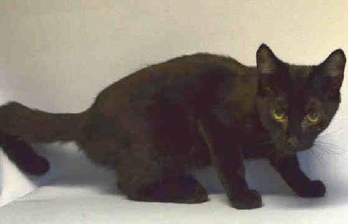 BABY CAT aka BABBY - A1046530 - - Brooklyn   ***TO BE DESTROYED 08/07/15*** FIVE ADORABLE KITTENS, DUMPED DUE TO A MOVE, HAVE GREAT BEHAVIOR RATINGS, BUT WILL DIE DUE TO EASILY TREATED SKIN CONDITION – PLEASE GRANT KENNEDY, BELL, TINY, BABY CAT, AND KANGAROO A DEATH ROW PARDON!!! Five adorable, affectionate brown and black kittens – KENNEDY, BELL, TINY, BABY CAT, and KANGAROO – were dumped into the kill-happy ACC when their old owner MOVED to new cat-free