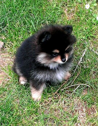 Black And Tan Pomeranian Puppy She Is Eight Weeks Old
