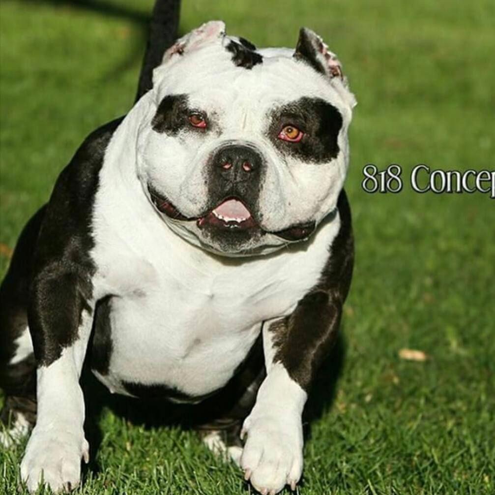 VerusDogFoodCoupon Dog training near me, Bully dog, Dog