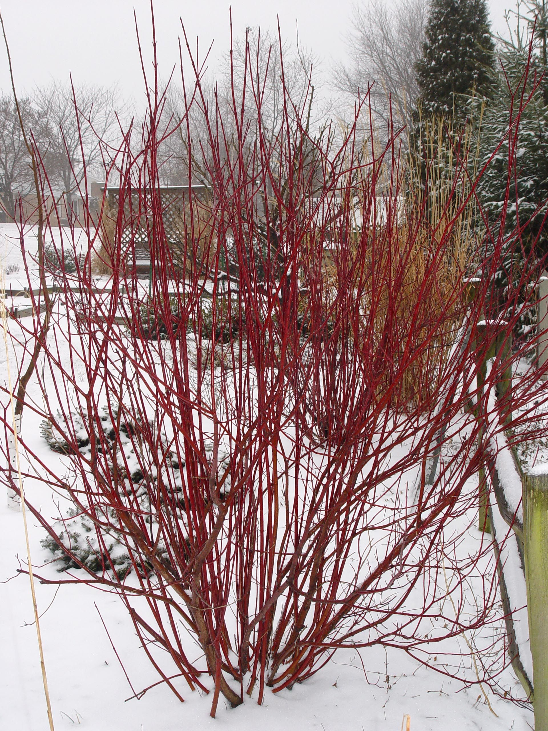 Red Twig Dogwood Garden Housecalls Twig Dogwood Red Twig Dogwood Dogwood Shrub