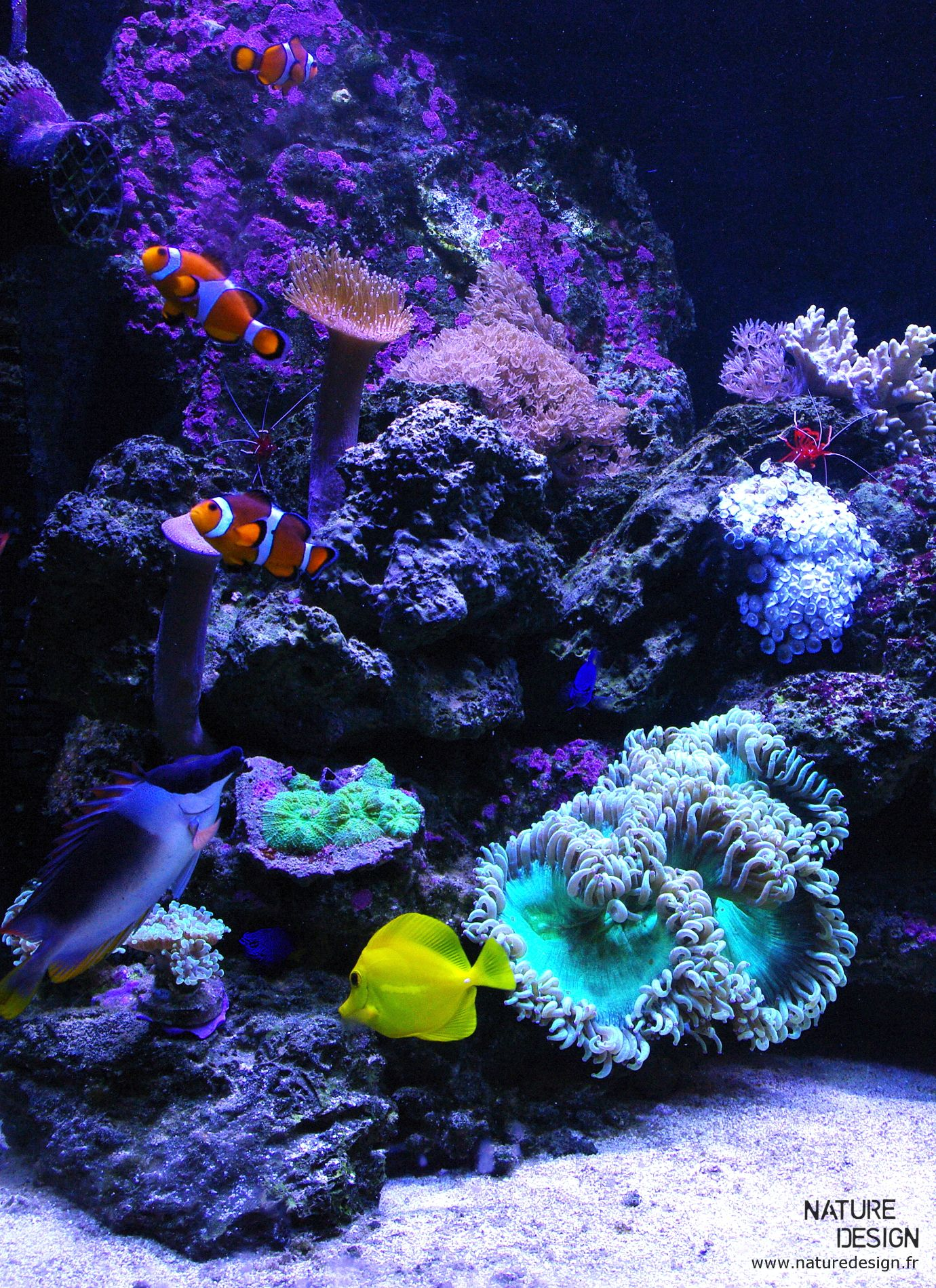 Aquarium r cifal aquarium eau de mer poissons clown et zebrasoma flavescens catalaphyllia le - Grand poisson de mer ...