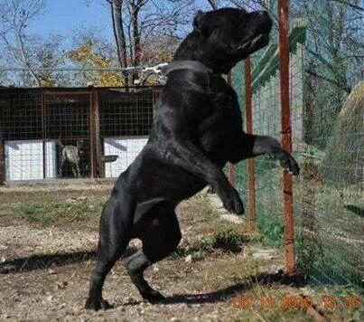 Monster Perro De Presa Canario Razas De Perros Amantes De Perros