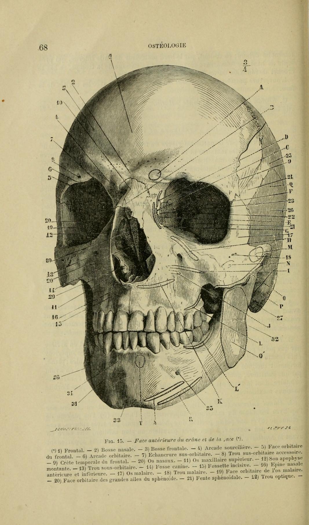 днём строение человеческого черепа с картинками ветеран