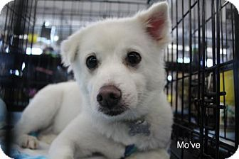 Seattle Wa Spitz Unknown Type Medium Meet Move Yenchi A Dog For Adoption Pets Pet Adoption Dogs