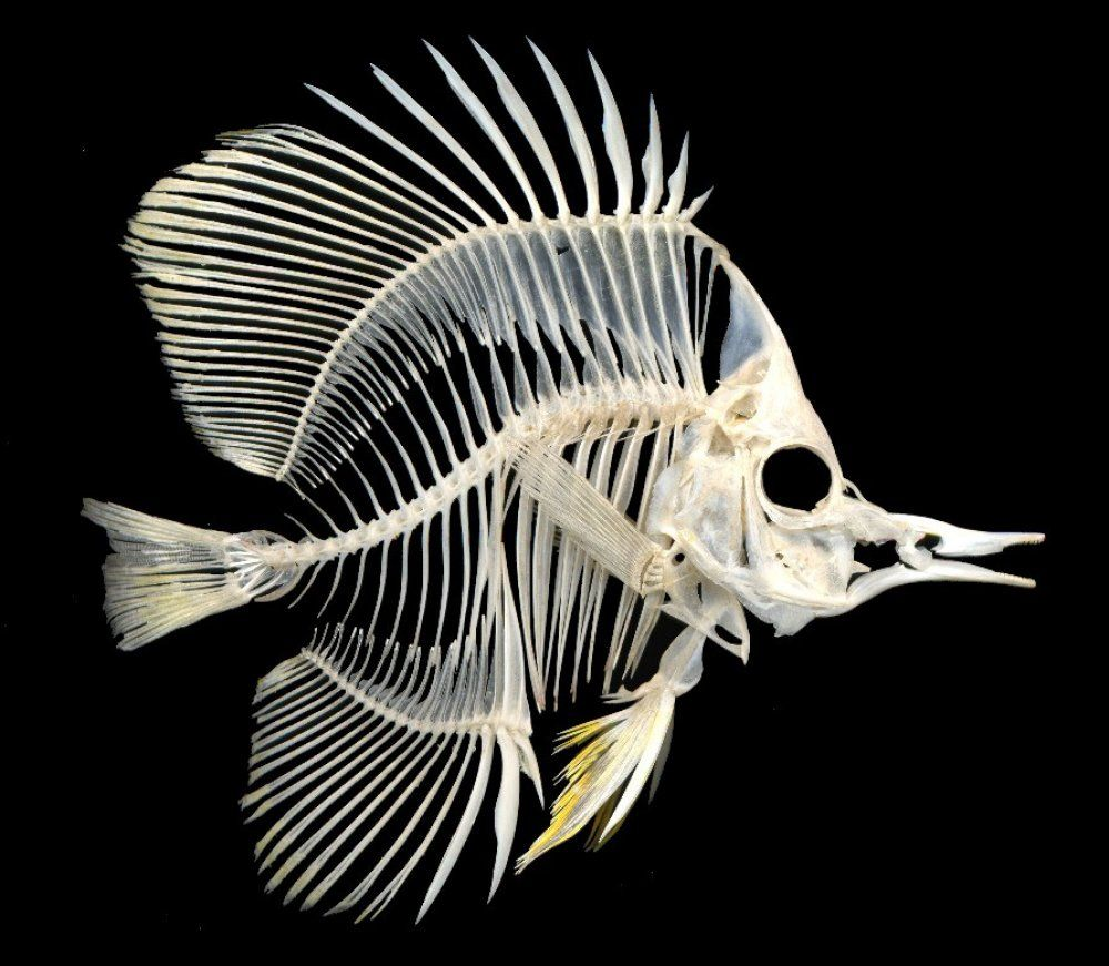 This fish skeleton looks like a large angelfish. | Animal Skeletons ...