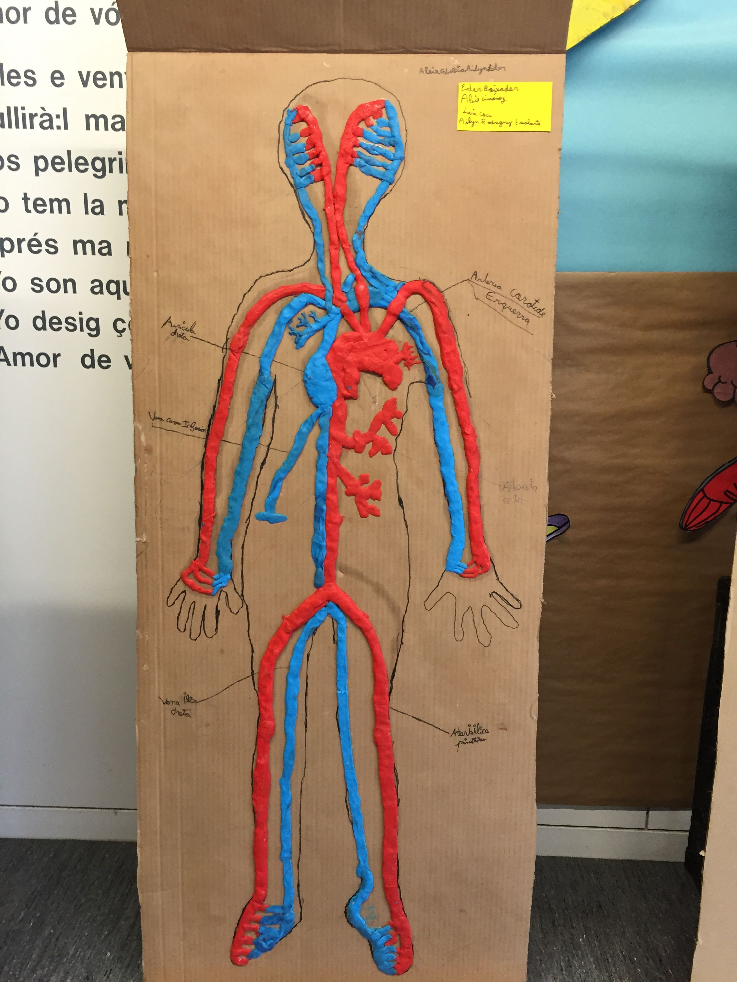Aparell circulatori a l'escola Maqueta cuerpo humano