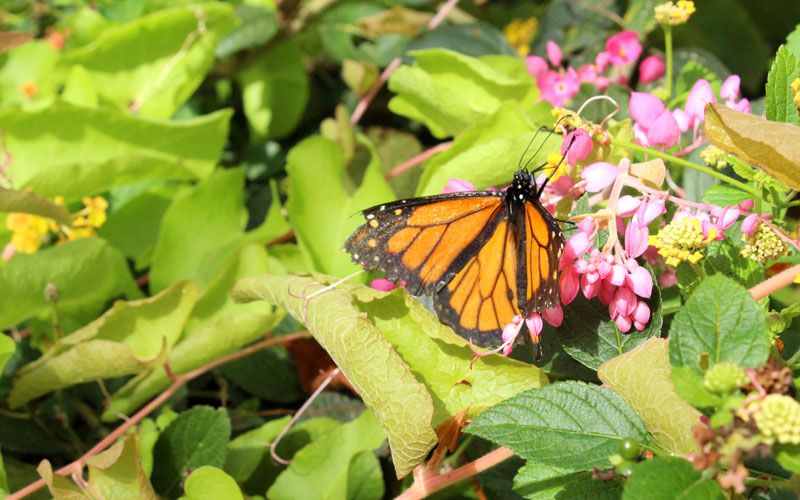 Numbers of migrating monarchs has dropped 90 percent in two decades. Arizonans asked to plant varieties of milkweed as…