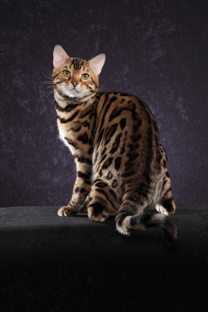 Starangel New Jersey Bengal Cat New Jersey Bengal Breeders Nj Bengal Kitten Cats Bengal Cat Breeders Bengal Cat Cat Family