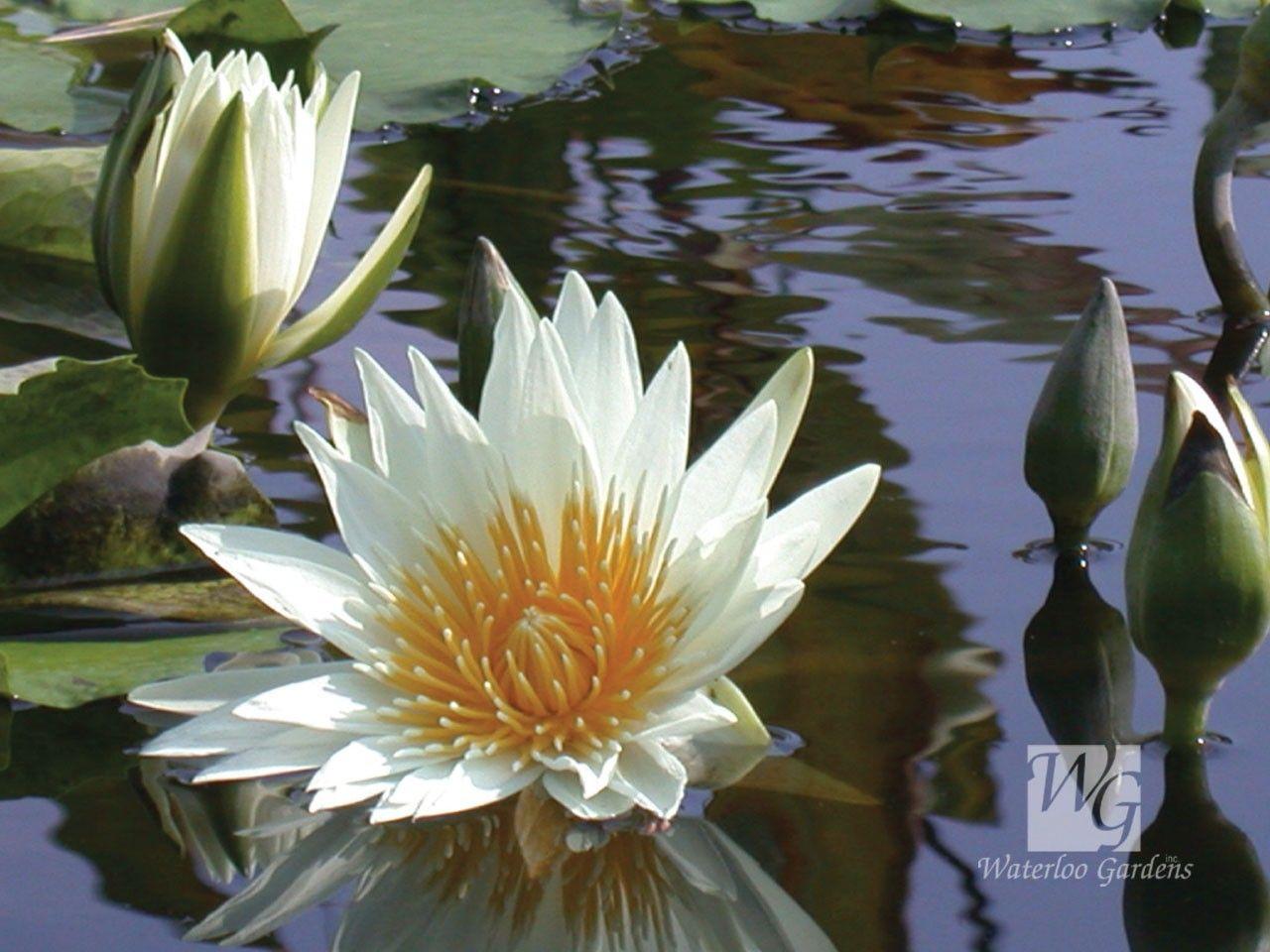 Waterlily flowers trees plants pinterest water lilies waterlily pond lifelotus flowertree izmirmasajfo