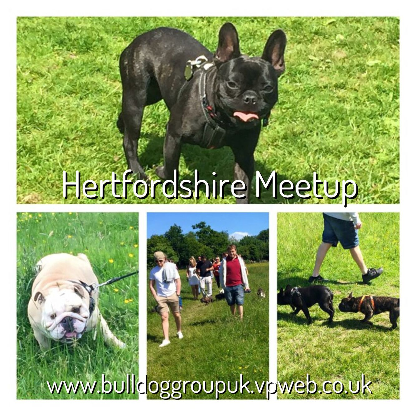 Hertfordshire Meetup French bulldog, Animals, Bulldog