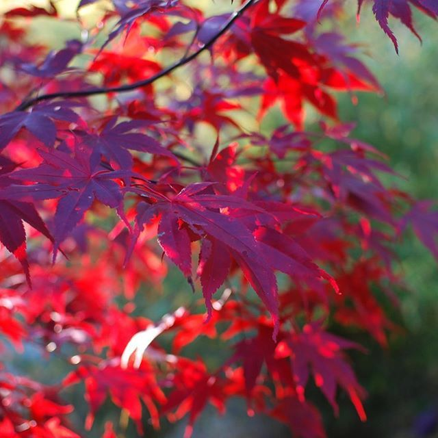 Good Morning My Japanese Acer Palmatum Margaret Bee Is Absolutely