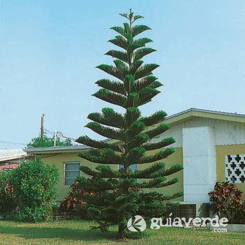 Arauc ria de norfolk araucaria excelsa araucaria for Tipos de pinos para jardin