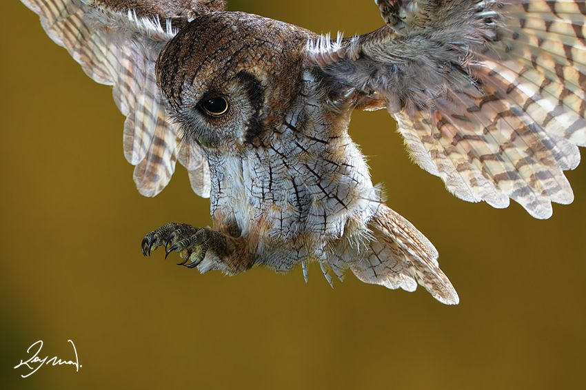 "500px / The attack! by Raymon. ""I took me hours to get this Tropical Screech Owl. Hope you like it."""