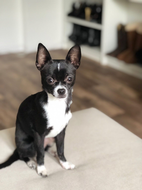 Theo Is More Photogenic Than Me Chihuahua Chihuahua