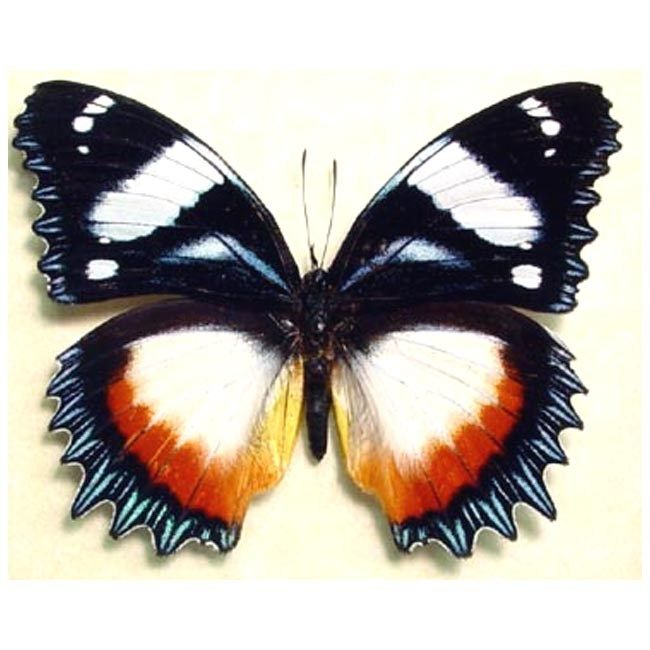 Real Dried Insect//Butterfly//Moth Non-Set.African Blue//Green Graphium antheus