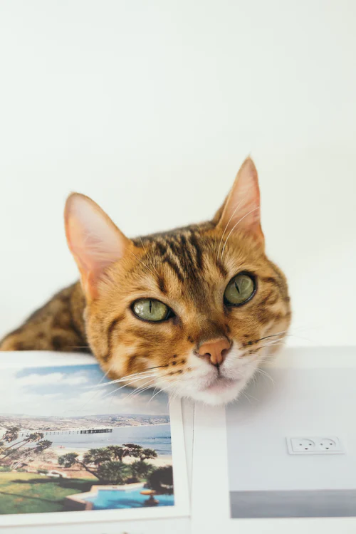 900 Cat Images Download Hd Pictures Photos On Unsplash Tabby Cat Beautiful Cats Cat Pics